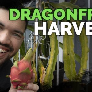 How To Grow Dragonfruit Part 5: HARVEST and End of Season Care