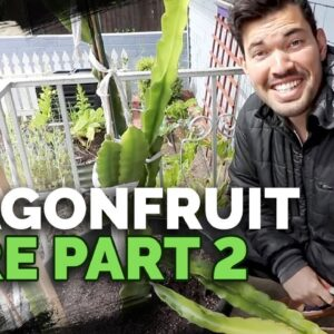 How to Grow Dragonfruit (Pitahaya) Pt. 2: Tying Up and Taking Cuttings