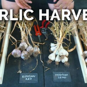 How to Grow Garlic | Garlic Scapes, Harvesting, & Curing (Part 3)