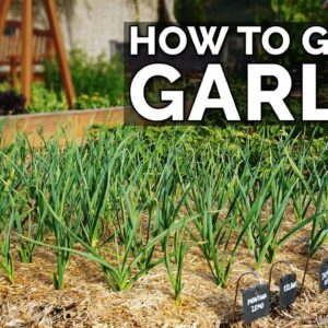 How to Grow Garlic (Part 2) | Water, Fertilizing, Pests & Diseases