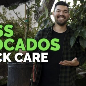How to Grow Hass Avocados: Quick Care Guide