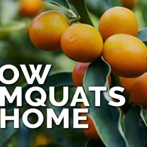How to Grow Kumquat Trees in Containers Pt. 1