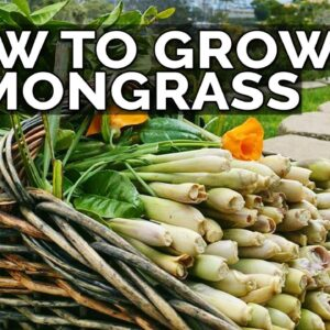 How to Grow Lemongrass and Propagate it FOREVER