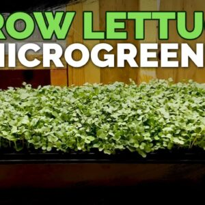 How to Grow Lettuce Microgreens Fast & Easy🌱