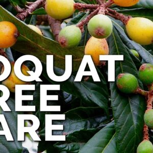 How to Grow Loquat Trees and Get a TON of Fruit