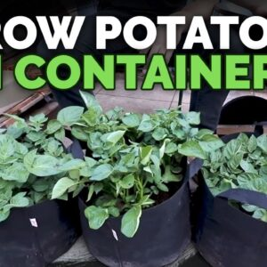 How to Grow Potatoes in Containers: Hilling Up Process Explained