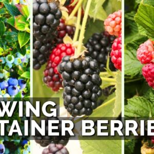 How to Grow Raspberries, Blueberries, and Blackberries in Containers