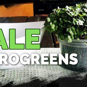 How to Grow Red Russian Kale Microgreens