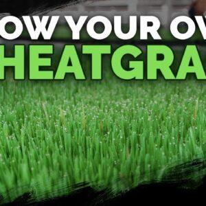 How To Grow Wheatgrass DIRT Cheap (+ Wheatgrass Juice Recipe)