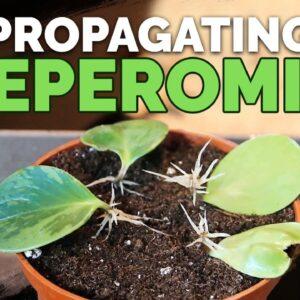 How to Propagate Peperomia: 2 Easy Methods