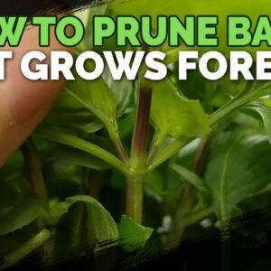 How to Prune Basil So It Grows Forever!