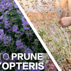 How To Prune Beyond Midnight Caryopteris