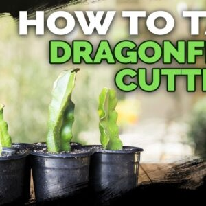 How to Take Dragonfruit Cuttings ✂��