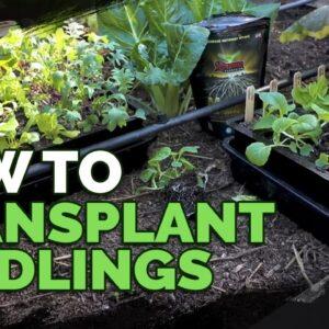 How to Transplant Seedlings: My High-Density Method