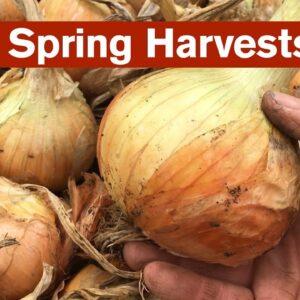 Huge Spring Harvests from the Polytunnel Garden