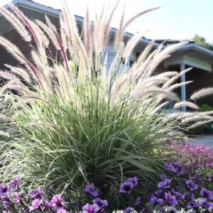 Launch Your Season With Graceful Grasses Sky Rocket