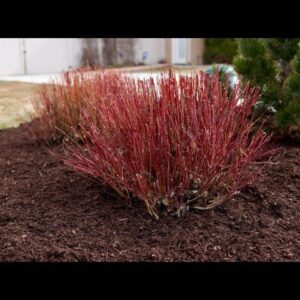 Moving Shrubs That Need More Room