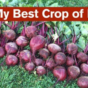 My Best Crop of Beets