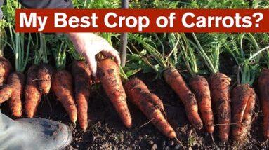 My Best Crop of Carrots?