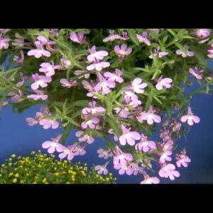 Proven Winners® Gardener Channel: Proven Winners® Lucia® Lavender Blush Lobelia