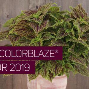 New ColorBlaze Coleus for Spring