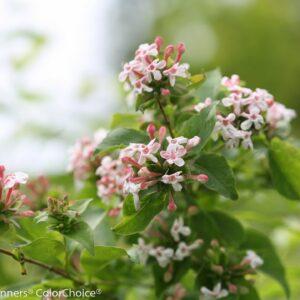 New Flowering Shrubs from Proven Winners