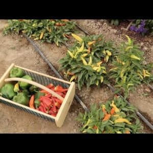 Harvesting & Drying Peppers! 🌶👩🌾 // Garden Answer