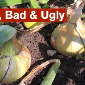 Onions: Good, Bad & Ugly