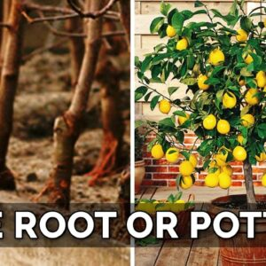 Potted vs. Bare Root Fruit Trees: Which to Choose? 🌳 🍑 🥑
