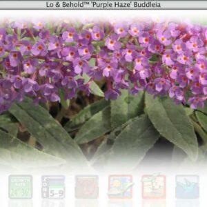 Proven Winners® Gardener Channel: Proven Winners® Lo and Behold Purple Haze