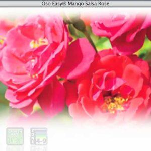 Proven Winners® Gardener Channel: Proven Winners® Oso Easy Mango Salsa Rose