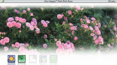 Proven Winners® Gardener Channel: Proven Winners® Oso Happy Petit Pink Rosa