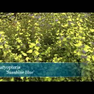 Proven Winners® Gardener Channel: Proven Winners® Sunshine Blue® Caryopteris