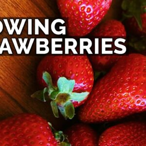 Growing Strawberries (Part 1): Planting Bare Root Strawberries, Sun, and Soil