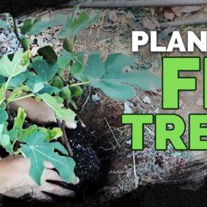 Planting a Fig Tree 101