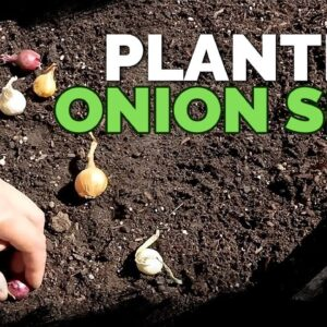 Planting Onion Sets: What to Watch Out For