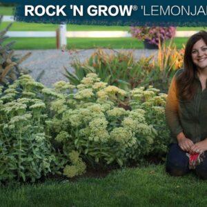 Planting Rock 'N Grow® 'Lemonjade' Sedum