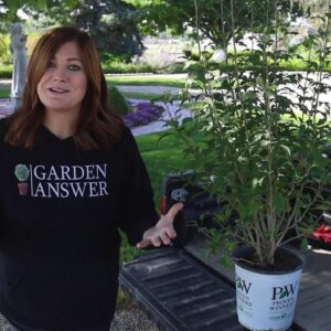 Planting White Pillar Rose of Sharon