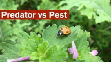 Predator vs Pest