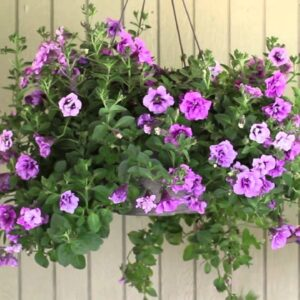Proven Beauty: How To Trim A Hanging Basket