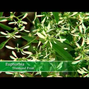 Proven Winners® Gardener Channel: Proven Winners® Diamond Frost® Euphorbia