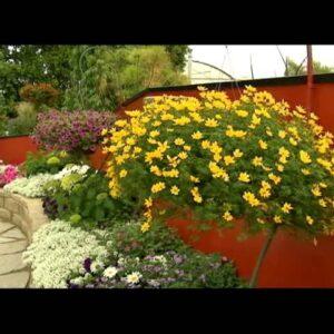 Proven Winners® Gardener Channel: Proven Winners® Goldilocks Rocks® Bidens