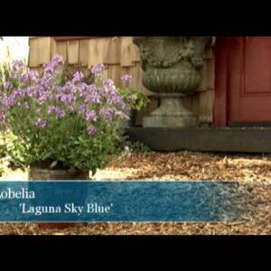 Proven Winners® Gardener Channel: Proven Winners® Laguna™ Sky Blue Lobelia
