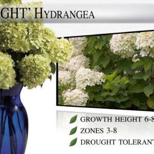 Proven Winners® Gardener Channel: Proven Winners® Limelight Hydrangea