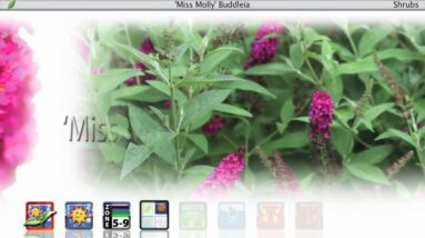 Proven Winners® Gardener Channel: Proven Winners® Miss Molly Buddleia