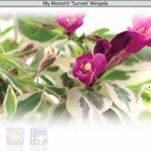 Proven Winners® Gardener Channel: Proven Winners® My Monet Sunset Weigela