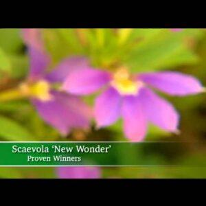 Proven Winners® Gardener Channel: Proven Winners® New Wonder Scaevola