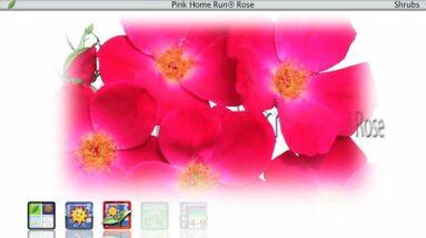 Proven Winners® Gardener Channel: Proven Winners® Pink Home Run Rosa