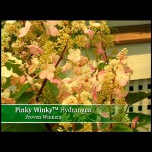 Proven Winners® Gardener Channel: Proven Winners® Pinky Winky™ Hydrangea