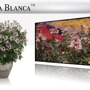 Proven Winners® Gardener Channel: Proven Winners® Senorita Blanca™ Cleome
